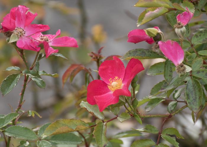 バラ(ロージー・カーペット)の花。長居植物園で撮影