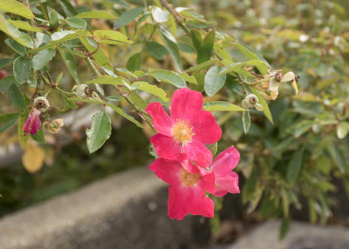 バラ(ロージー・カーペット)の花のアップ。長居植物園で撮影