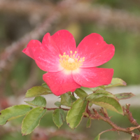バラ(ロージー・カーペット)の花