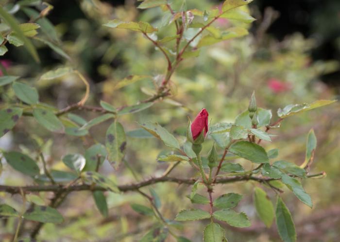バラ(ロージー・カーペット)の花のつぼみ。長居植物園で撮影