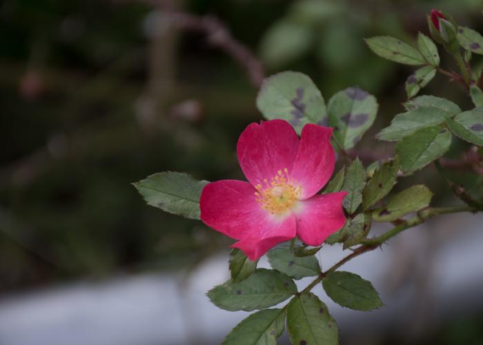 バラ(ロージー・カーペット)の花一輪。長居植物園で撮影
