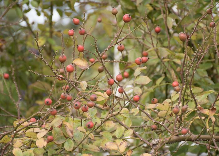 バラ(ロージー・カーペット)の実。長居植物園で撮影