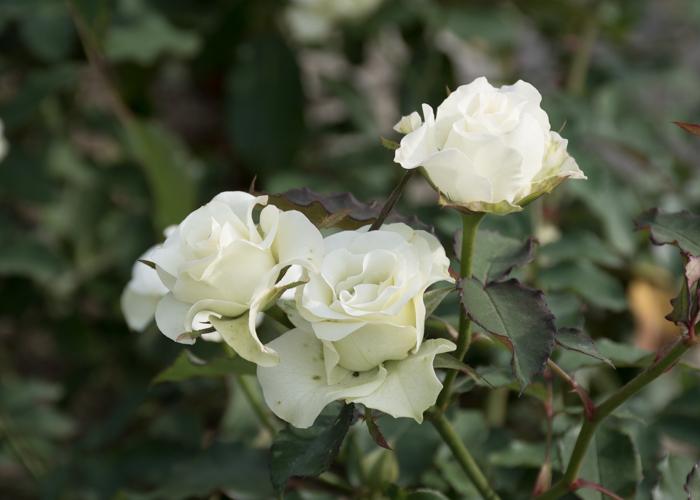 バラ(緑光)の花。長居植物園で撮影