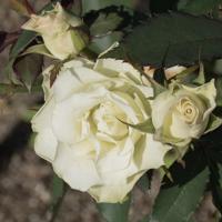 バラ(緑光)の花