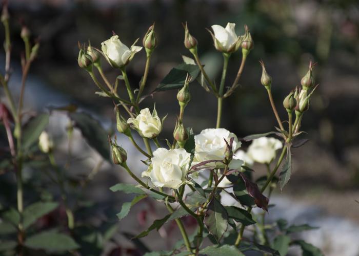 バラ(緑光)の花。花博記念公園鶴見緑地で撮影