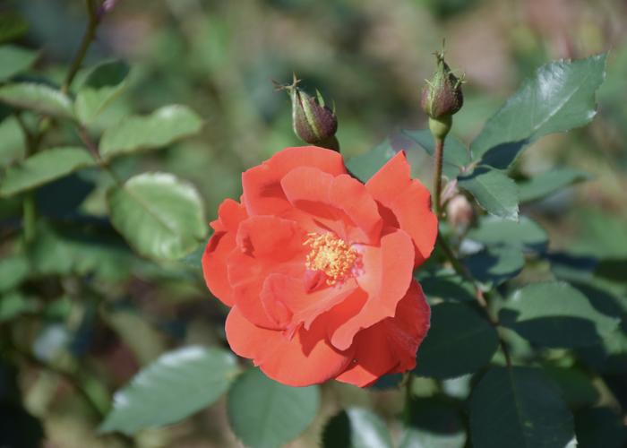 バラ(サラバンド)の花。荒巻バラ公園で撮影