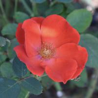 バラ(サラバンド)の花