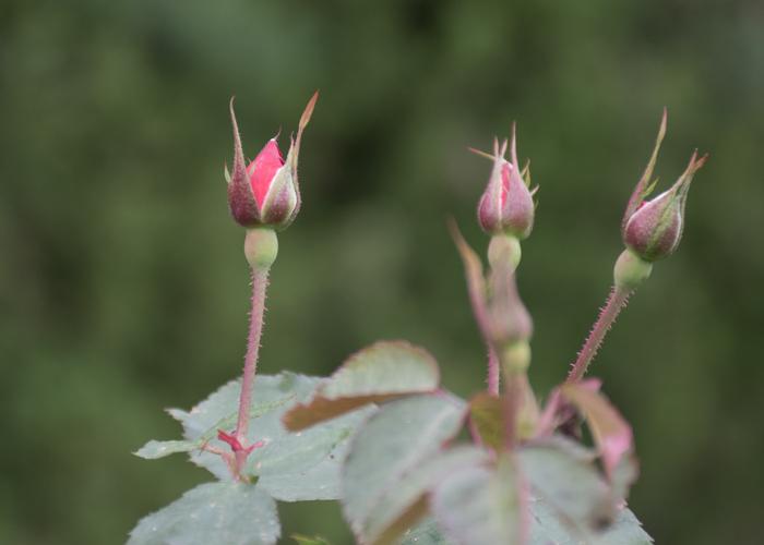 バラ(サラバンド)のつぼみ。長居植物園で撮影