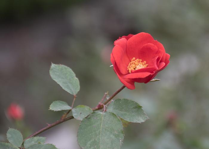 バラ(サラバンド)の花。長居植物園で撮影