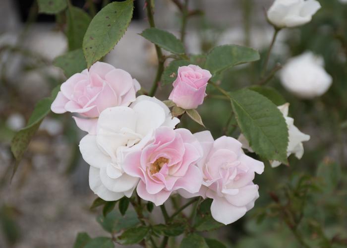 バラ(セレッソ)の花。長居植物園で撮影