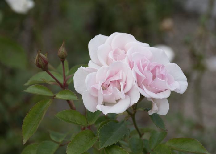 バラ(セレッソ)の花とつぼみ。長居植物園で撮影