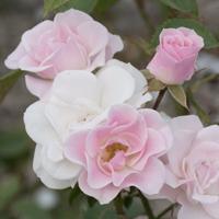 バラ(セレッソ)の花