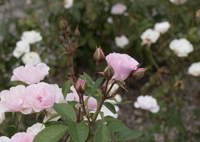 バラ(セレッソ)の咲きかけの花とつぼみ。長居植物園で撮影
