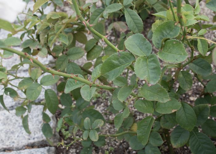 バラ(セレッソ)の枝とトゲと葉。長居植物園で撮影