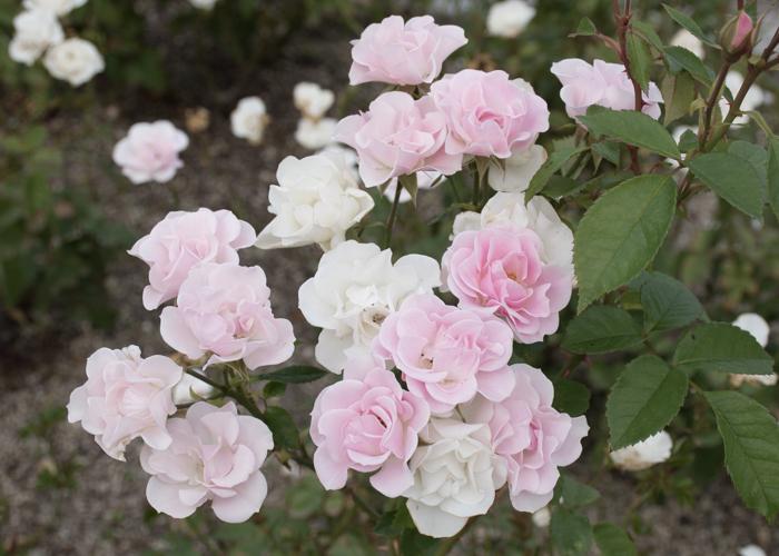 バラ(セレッソ)の満開の花。長居植物園で撮影