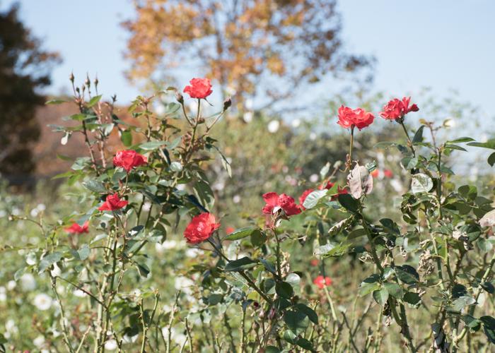 秋の庄堺公園のバラ園。赤いバラ