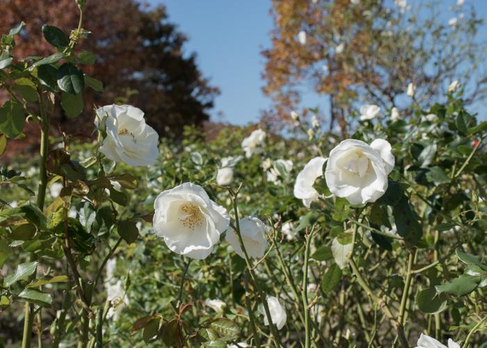 秋の庄堺公園バラ園の白いバラと紅葉