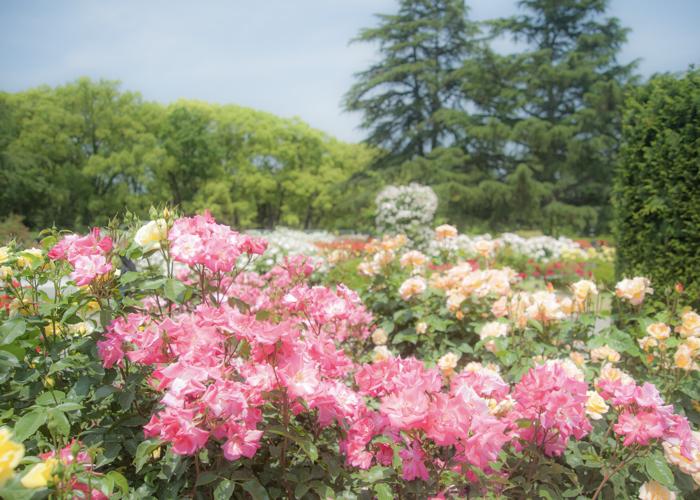 満開のバラ園(京都府立植物園)