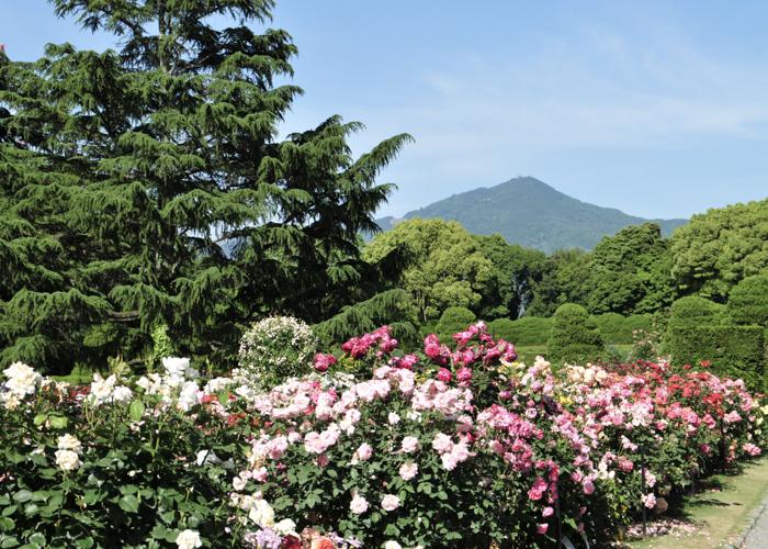京都府立植物園のバラ園と比叡山