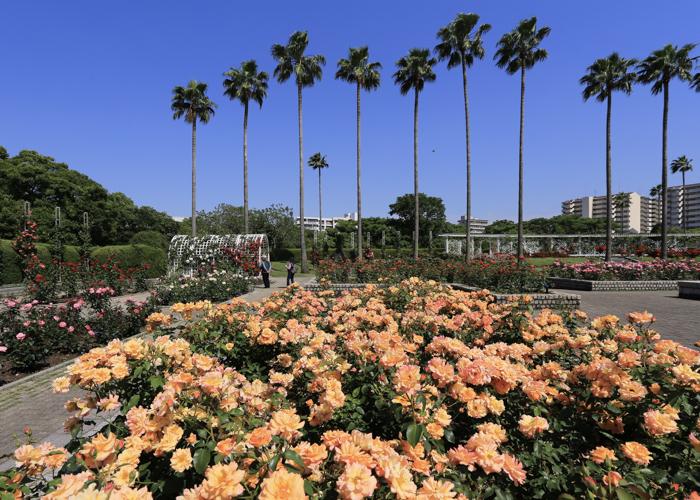 長居植物園バラ園に咲くオレンジ色のバラ