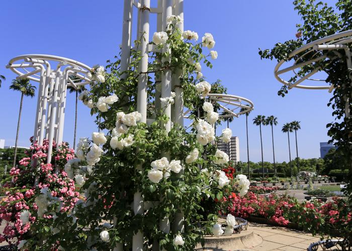 長居植物園の白いつるバラ