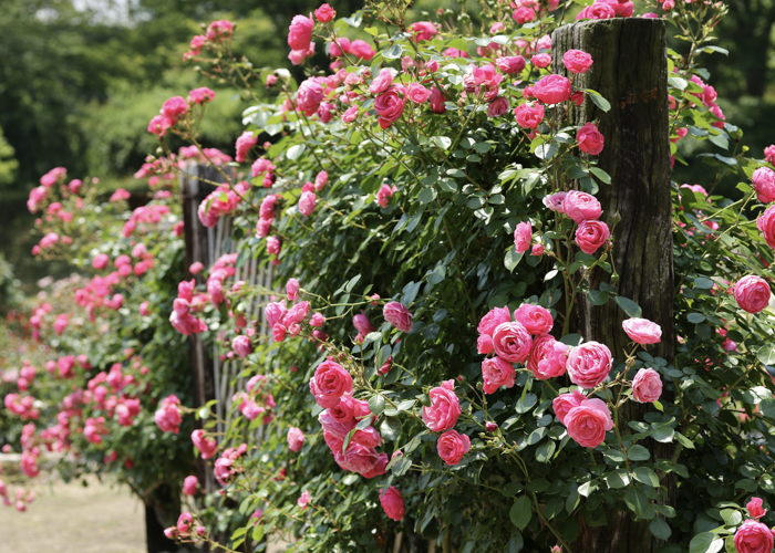 満開の濃いピンク色のつるバラ。愛知県豊田市の西山公園で撮影