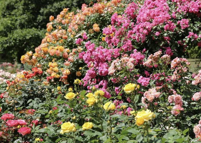 オレンジやピンク色のバラの花が満開の様子。愛知県豊田市の西山公園で札園