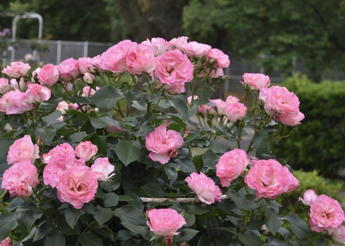 鮮やかなピンク色のバラの花。愛知県春日井市の王子バラ園(王子製紙の工場)で撮影