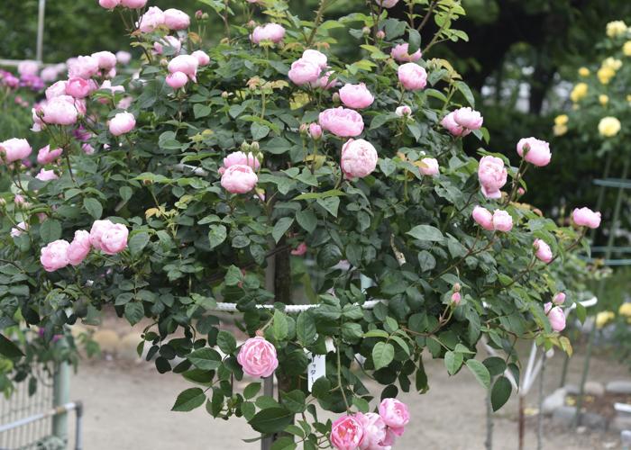 スタンダード仕立てのピンクのバラ。愛知県春日井市の王子バラ園(王子製紙の工場)で撮影
