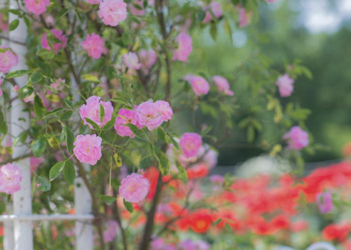 鮮やかなピンク色のつるバラ。愛知県名古屋市の鶴舞公園バラ園で撮影
