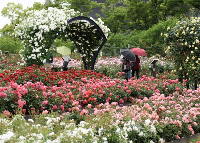 白いつるバラのアーチがある満開のバラ園。万博記念公園 平和のバラ園で撮影