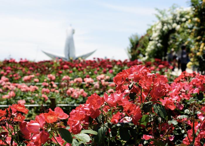 太陽の塔と満開のバラ。万博記念公園 平和のバラ園で撮影