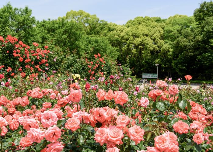 バラが見ごろの5月の万博記念公園 平和のバラ園