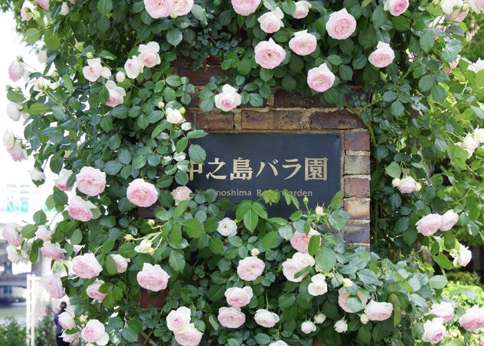 満開のピンクのつるバラと中之島公園 バラ園の看板