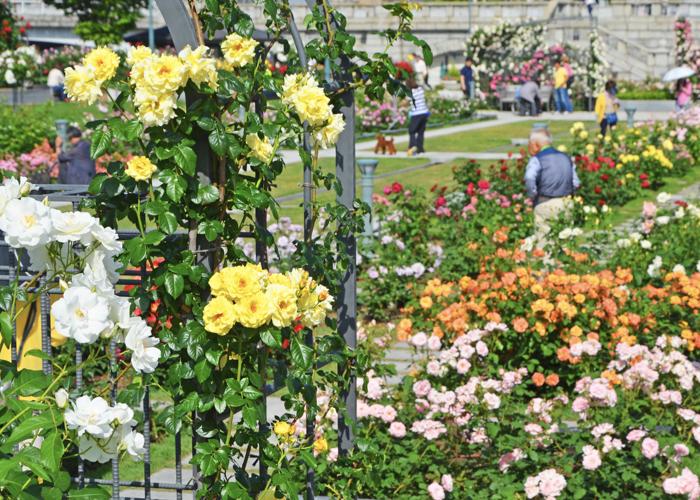 バラが見ごろの5月の中之島公園 バラ園