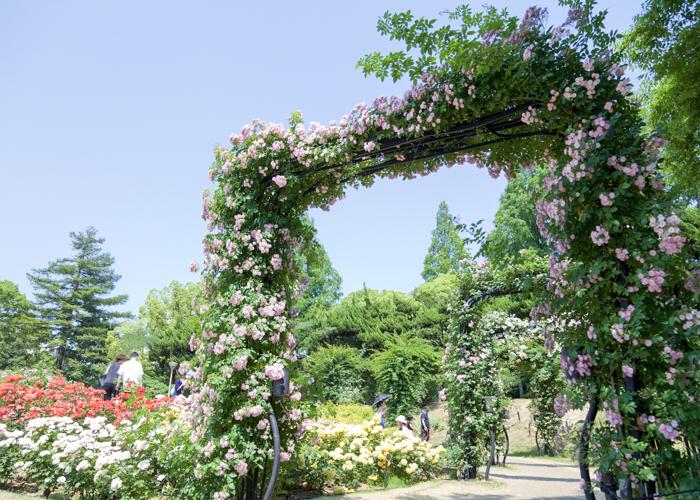淡いピンクのつるバラのローズゲート。靱公園のバラ園で撮影