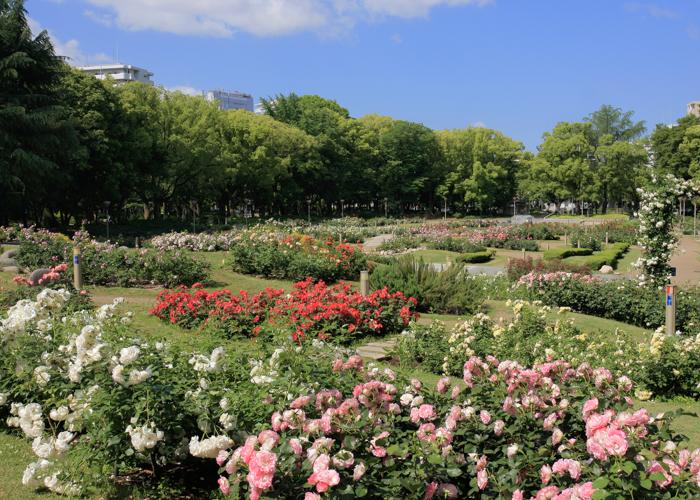 バラが見ごろの5月の靱公園バラ園