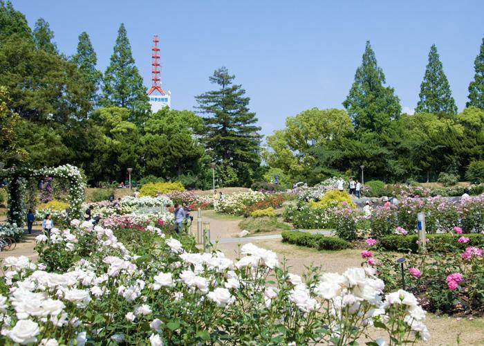 バラが満開の靱公園のバラ園
