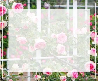 つるバラの一覧ページ用バナー