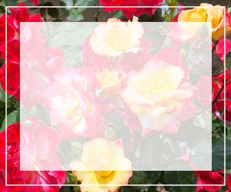 複色・多色のバラ一覧ページへのバナー