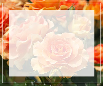 オレンジ色のバラ一覧ページへのバナー