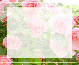 ピンクのバラ一覧ページへのバナー