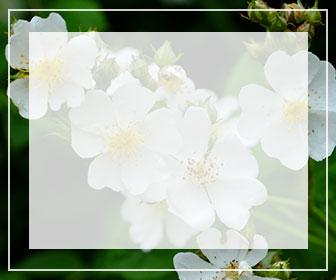 野生種・野バラの一覧ページ用バナー