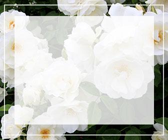 白いバラ一覧ページへのバナー