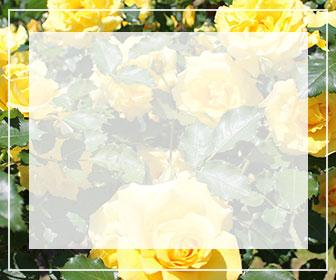 黄色のバラ一覧ページへのバナー