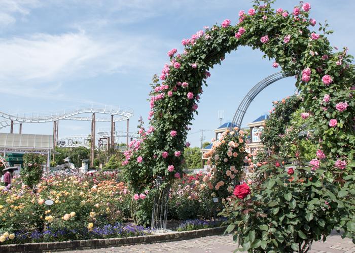 ひらかたパークのバラ園のつるバラのアーチ