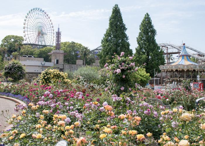 バラが満開のひらかたパーク ローズガーデンと観覧車