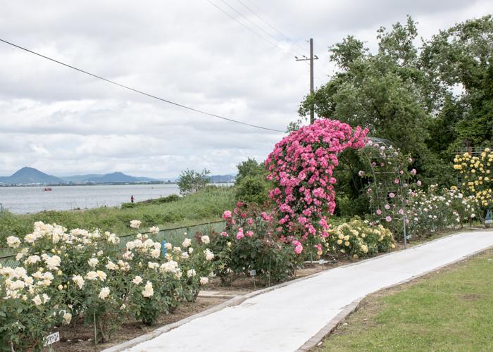 湖西浄化センターバラ花壇から見える琵琶湖