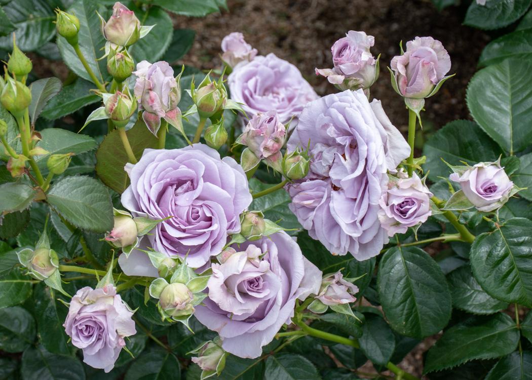 滋賀県湖西浄化センターバラ花壇のブルーバユーの花