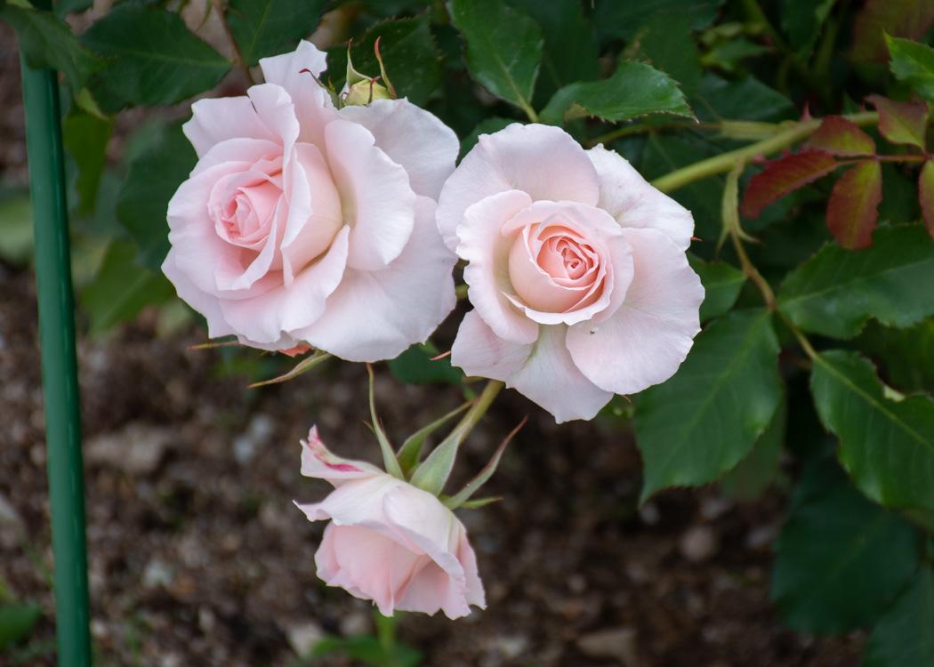 ブライダル・ピンクの花。湖西浄化センターバラ花壇で撮影